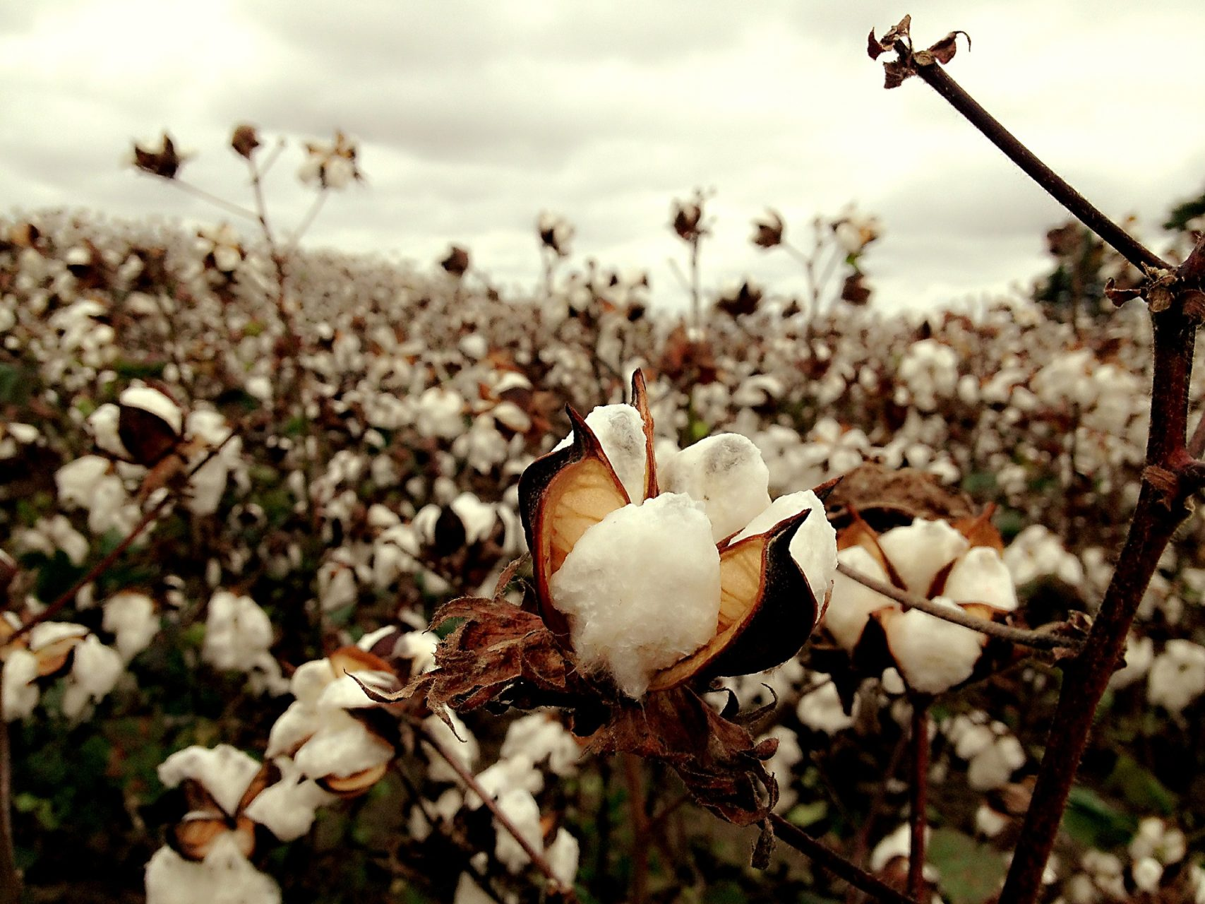 Copy of cotton-2047302_1920